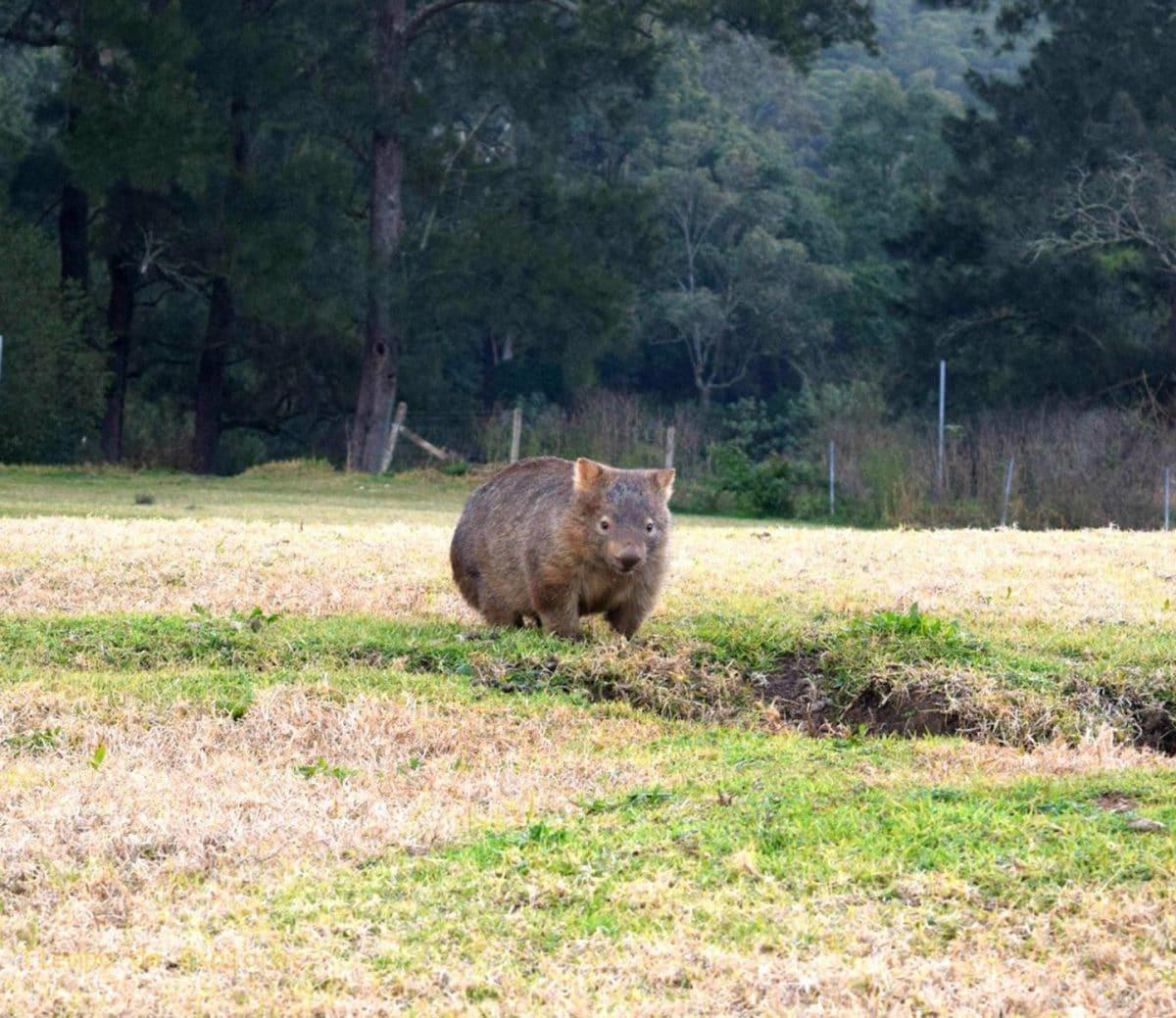 Wombat en Bendeela Recreation Area, NSW, Australia