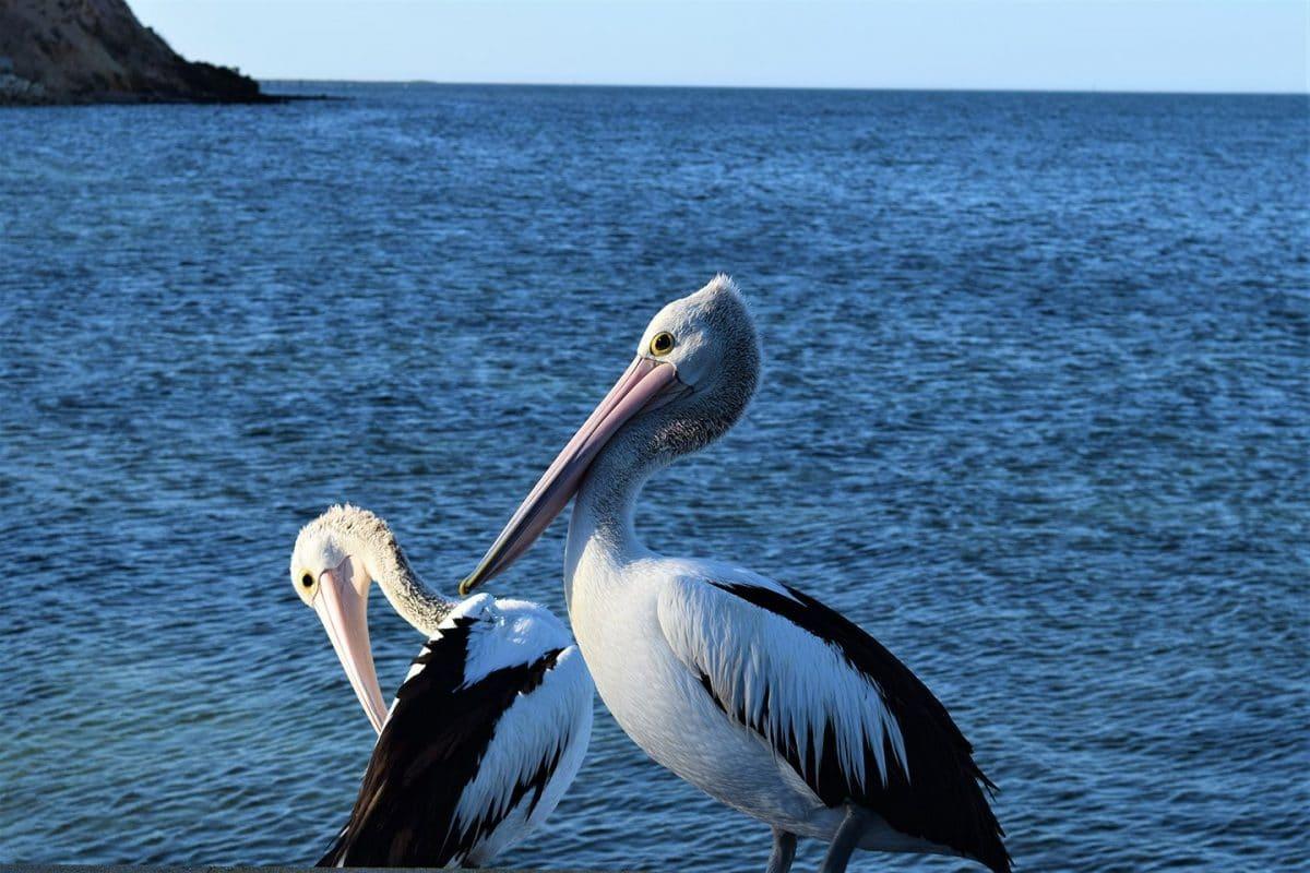 Pelicanos, South Australia