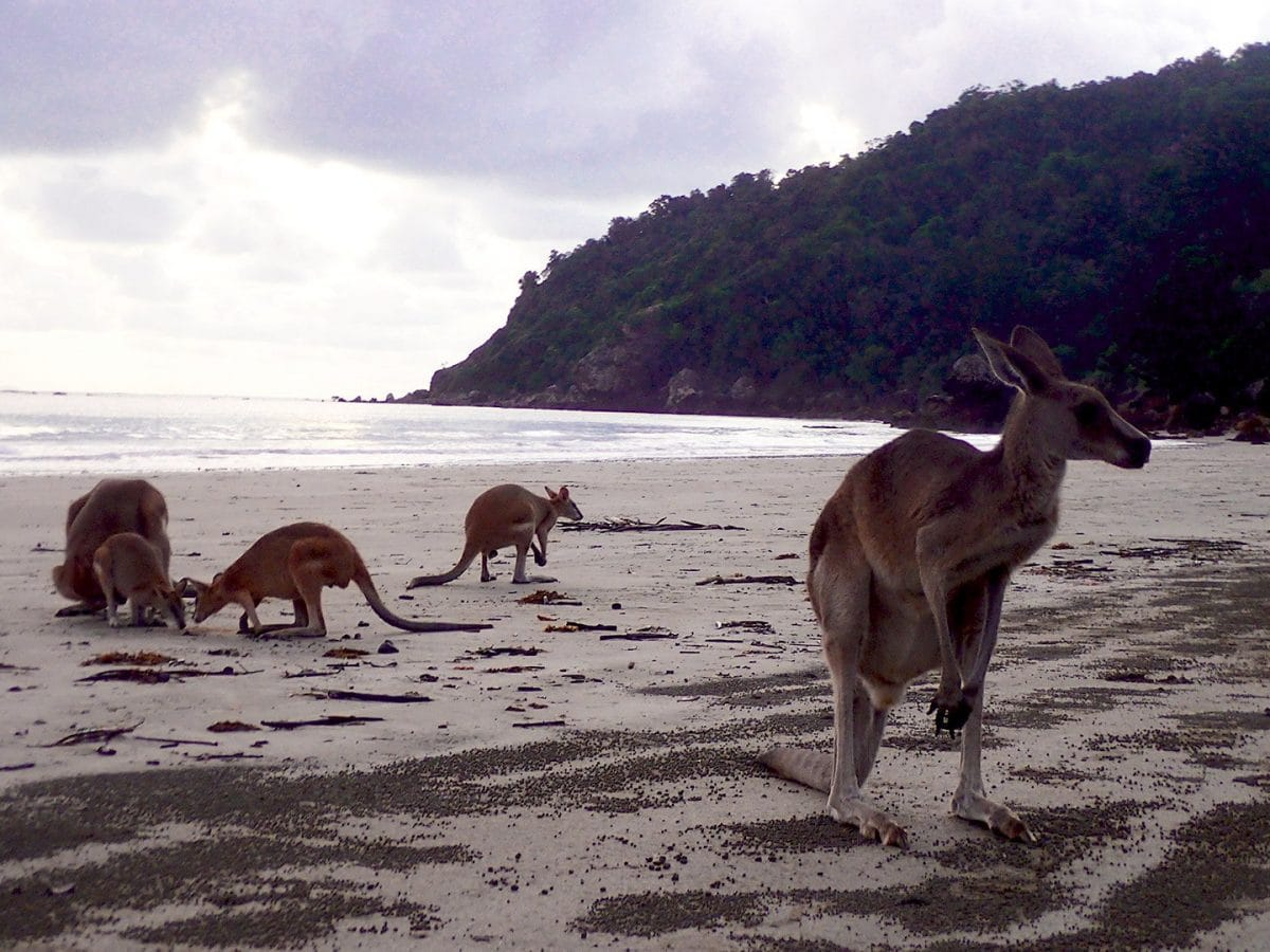 Cape Hillsborough Kangaroos beach
