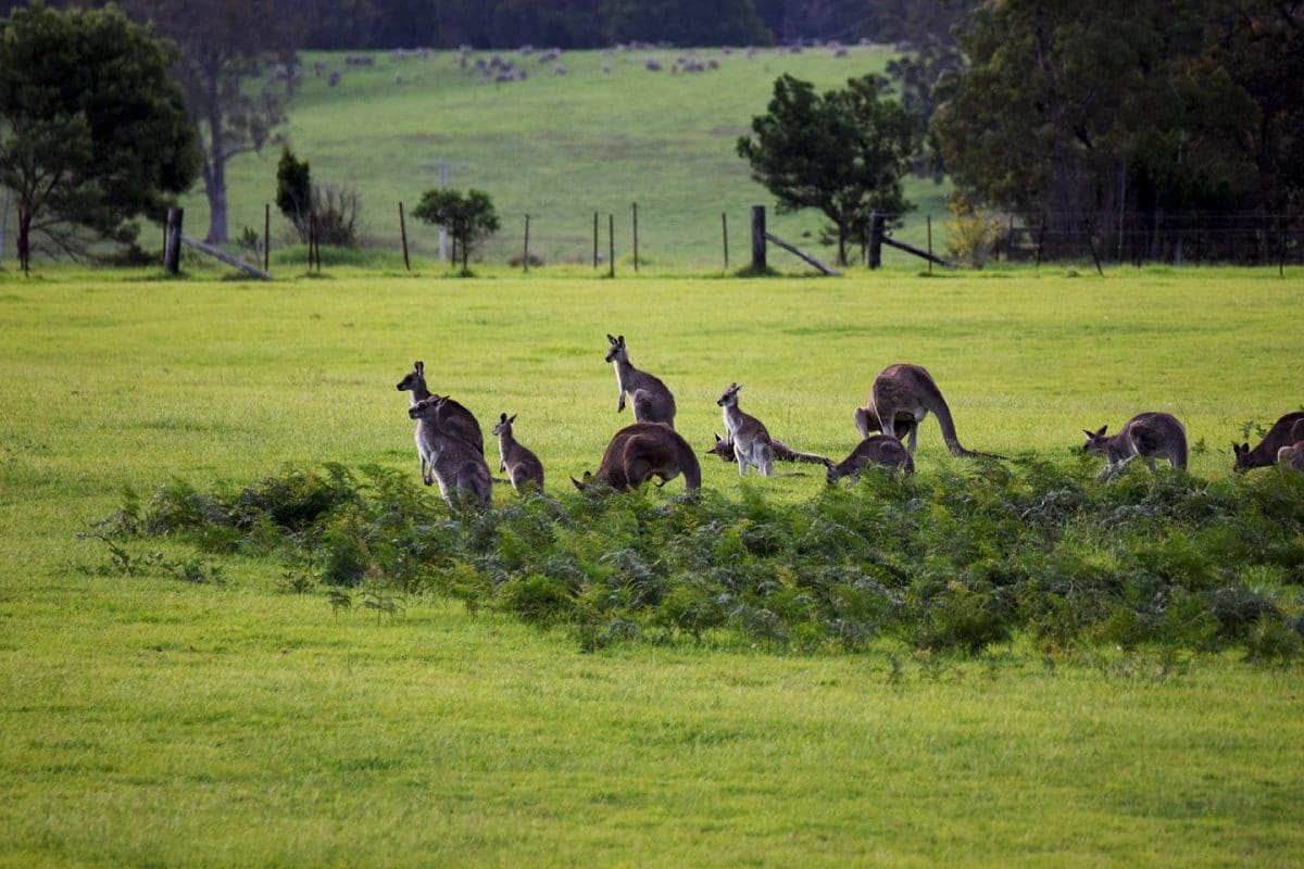 canguros en la Costa Zafiro, Ruta de Sydney a Melbourne, NSW Australia