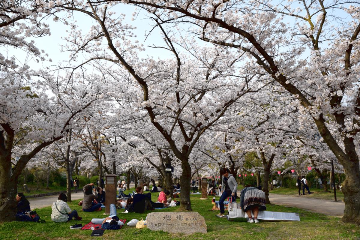 cerezos en flor Osaka. Qué ver en Japón en 10 días