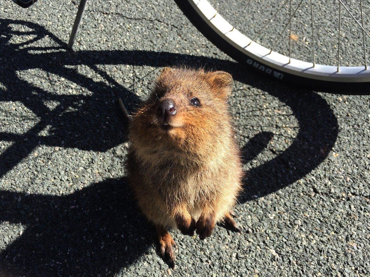 Quokka-Isla de Rottnest Australia